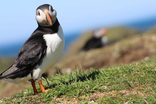 Puffin in Scotland