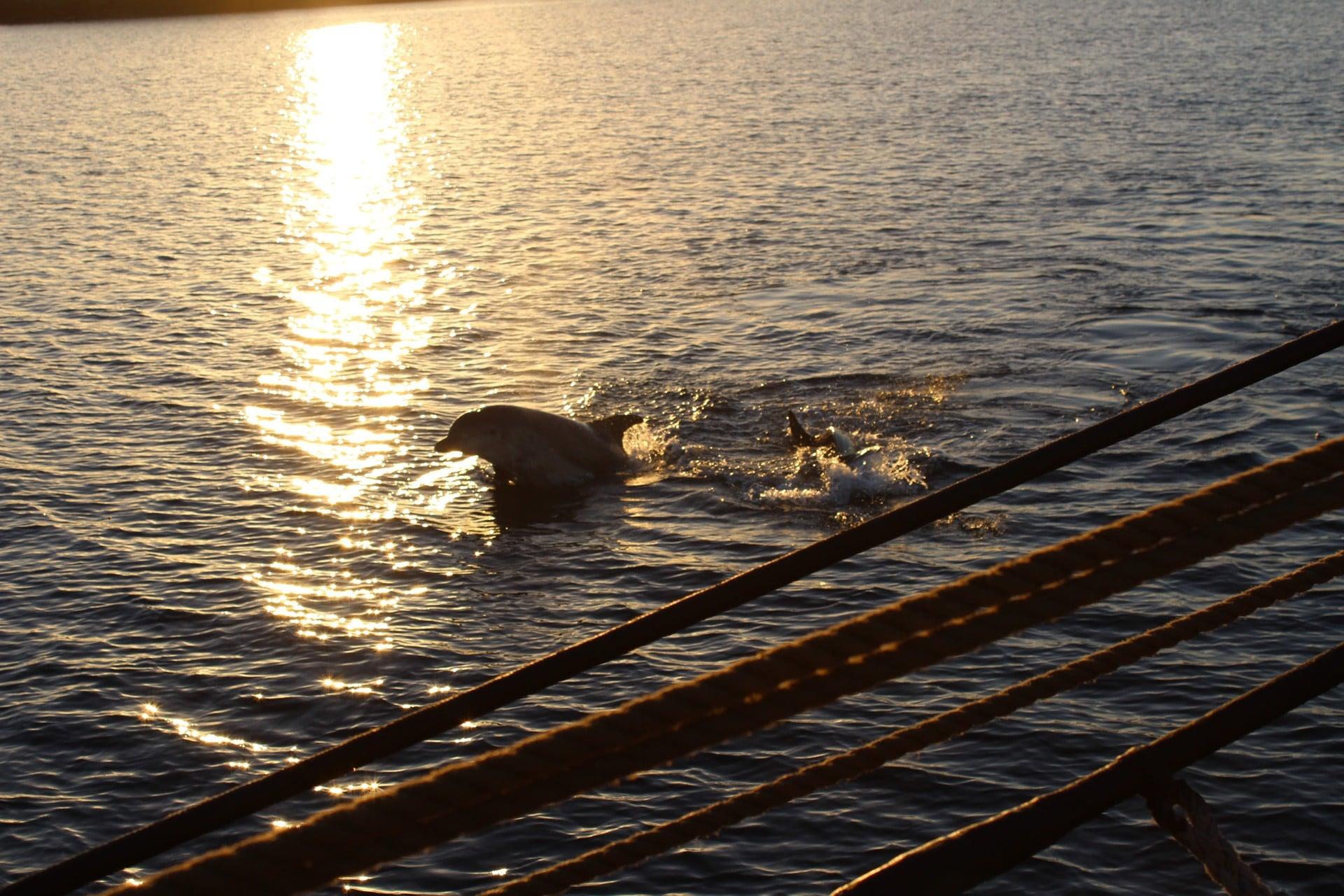 Dolphins in Scotland seen from Bessie Ellen