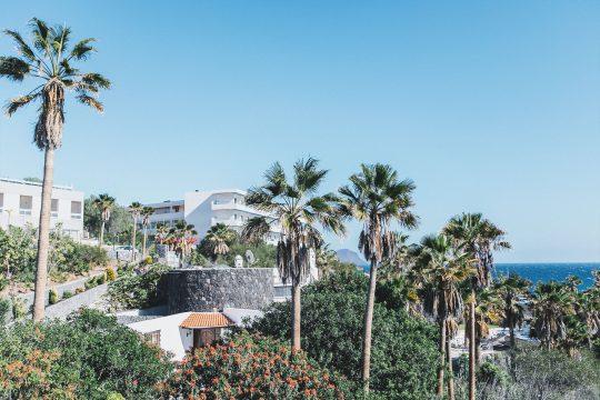 Canaries palms