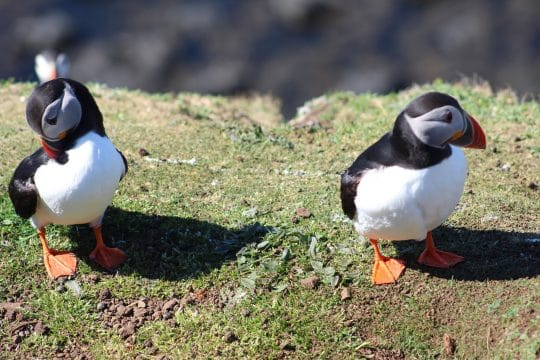 Puffins on St. Kilda