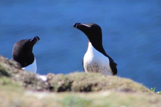 Seabirds on St. Kilda