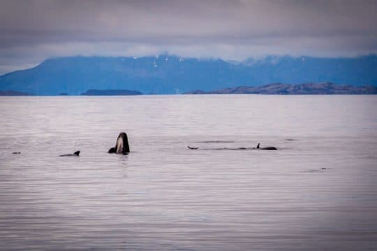 Narwhal Pilot Whales Norway