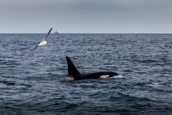 Narwhal Scotland Orca whale