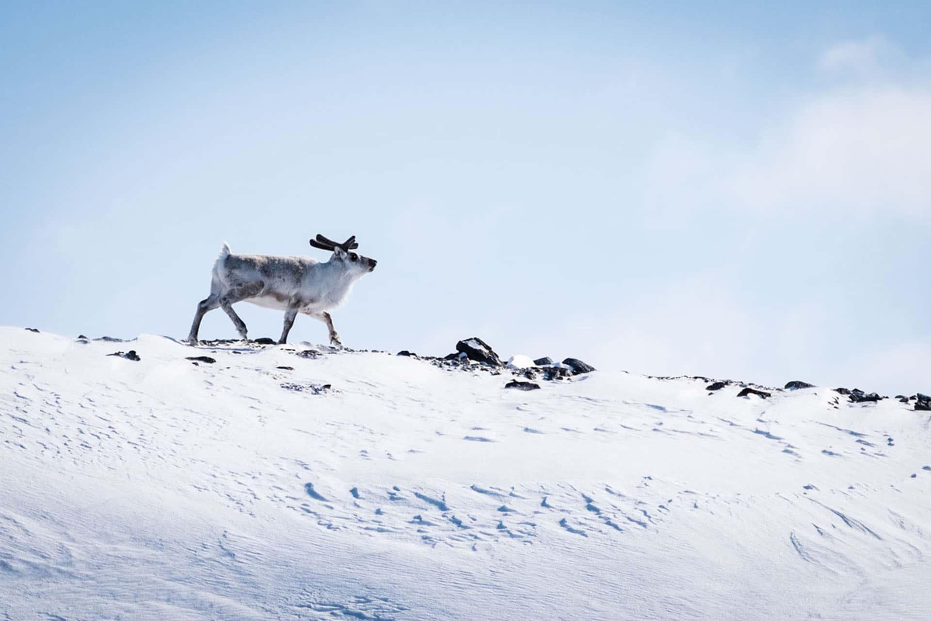 Noorderlicht reindeer Norway