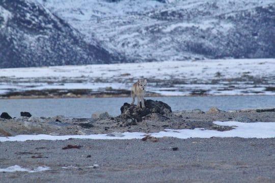 Noorderlicht Svalbard fox