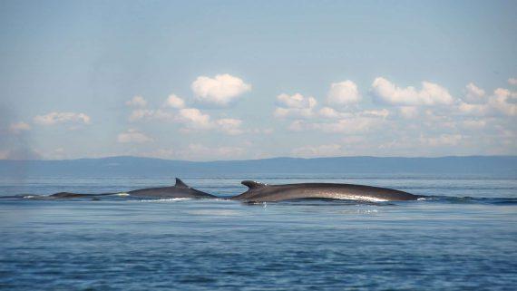 WILDLIFE Minke Whale