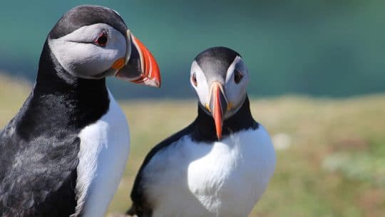 WILDLIFE Puffins scotland