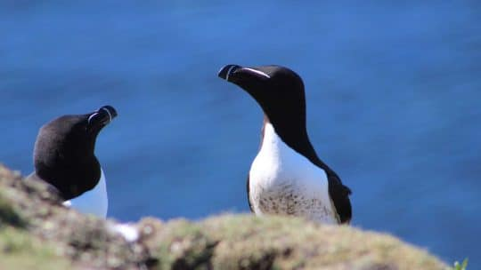 WILDLIFE scottish razorbill